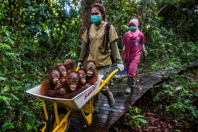 Baby orangutans on the way to the International Animal Rescue's center in West Kalimantan, Indonesia. Photo Credit: Credit Kemal Jufri for The New York Times