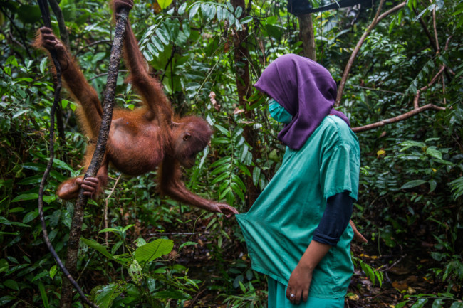 An orphaned baby orangutan playing with its keeper at International Animal Rescue's orangutan school in Indonesia. Photo Credit: Kemal Jufri for The New York Times
