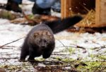 pacific-fisher-weasel-like-species-takes-off-after-being-released-at-mount-rainier-national-park