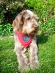 Drago senior dog rescued from the American Kennel Club AKC