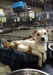 Dog named Smegel nursing puppies at San Antonio emergency shelter during Texas floods Hurricane Harvey