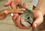 largemouth bass fish found in Great Lakes with antidepressants in brain, liver, muscles, and gonads