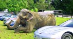 elephant beside sports cars at Two Tails Ranch in Williston, Florida