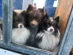 rescued Pomeranian puppies in Las Vegas being raffled in live animal auctions