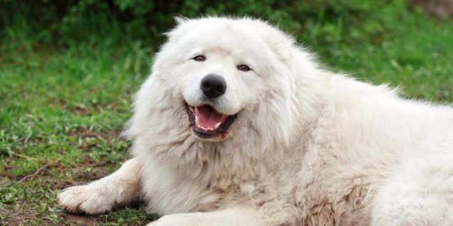 Tibetan Mastiff, large dogs, big dogs, dog breeds, cuddly animals