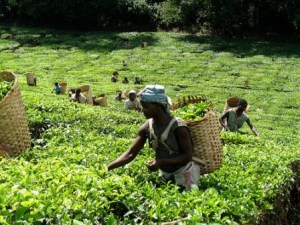 Malawi-tea