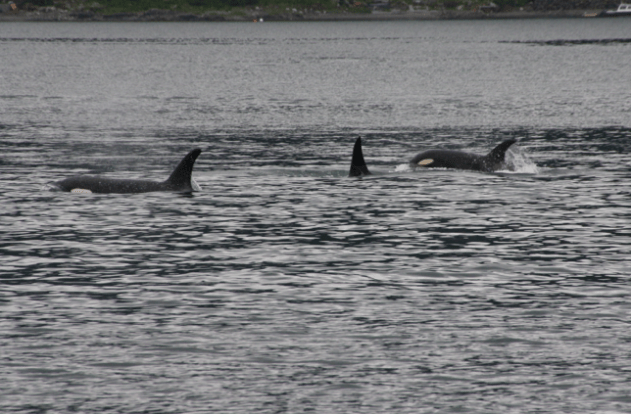 A group of female orcas