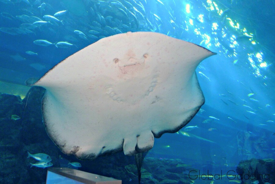 Dubai Aquarium Stingray