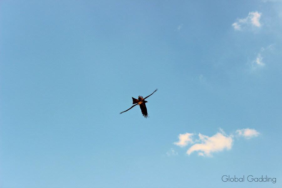 Adelaide-River-Kites