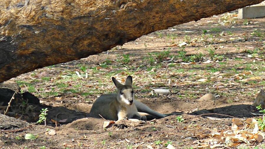 wallaby nitmiluk caravan park