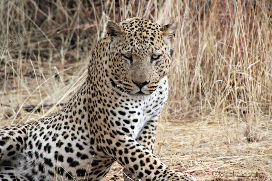 leopard africat namibia