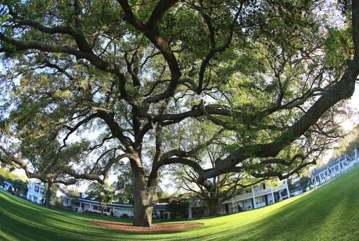 Augusta National oak tree
