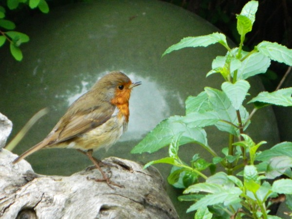 Our garden Robin