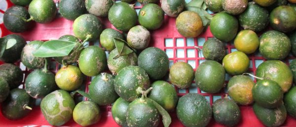 Kalamansi, Calamansi, photo by JMorton