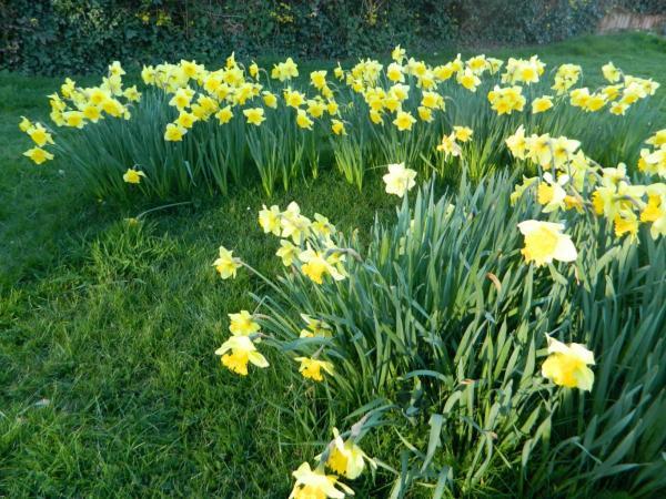 Daffodils, photo by PH Morton