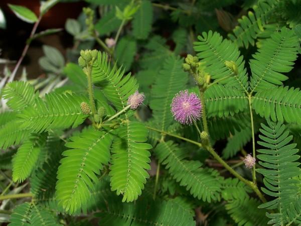 mimosa-pudica, makahiya