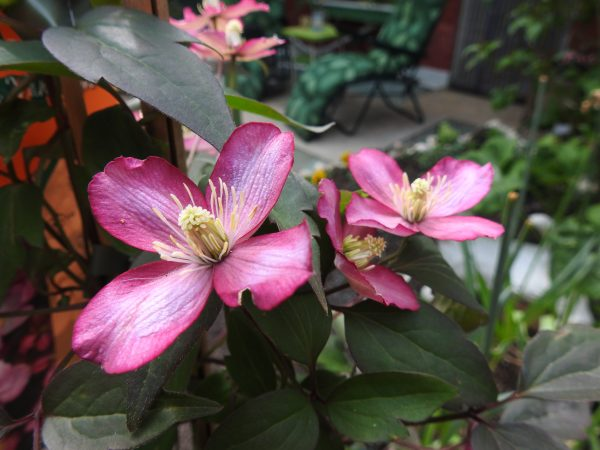 Clematis, Photo by JMorton