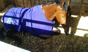 Sleep Beau at Badminton