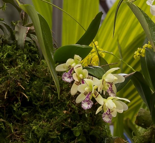 Orchids Sedirea Japonica