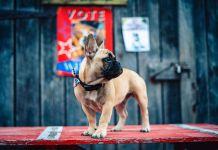 A French Dog Wilbur Elected As Mayor In A Small Town In Kentucky In US