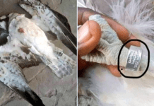 A Peregrine falcon which flew into Nigeria from Finland reportedly killed in Ofagbe town Delta state