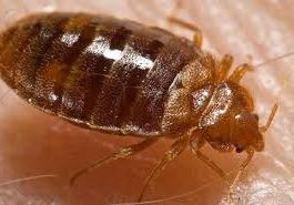 How To Get Rid Of Bed Bugs In The House