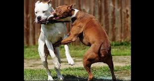 How Do You Stop Pitbulls When They Are Fighting