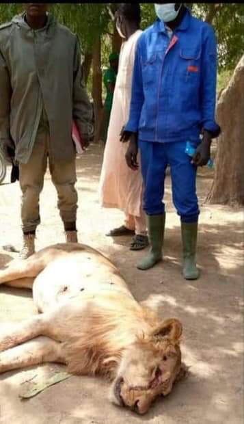 A Strange Lion Killed In Ngala Town, Borno State After It Killed Some People And Injured Others
