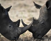 6 endangered animals that poaching could deprive us forever