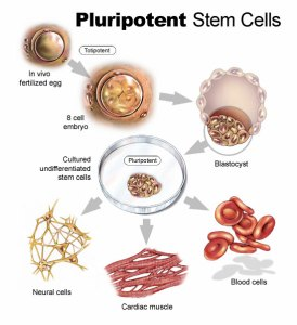 Pluripotent stem cell