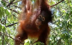Indonesia Wildlife Sanctuary resident Orangutan