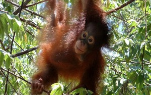 Indonesia Wildlife Sanctuary resident Orangutan