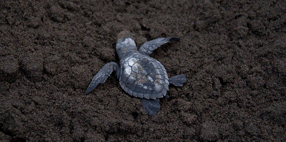 Volunteer in Costa Rica at a Sea Turtle Sanctuary