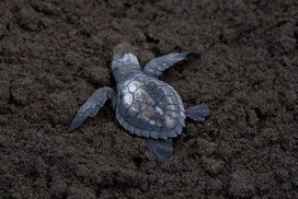 Turtle Hatchling Makes it Way on beach to water