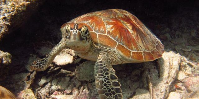 Turtle at the Borneo sea turtle conservation project