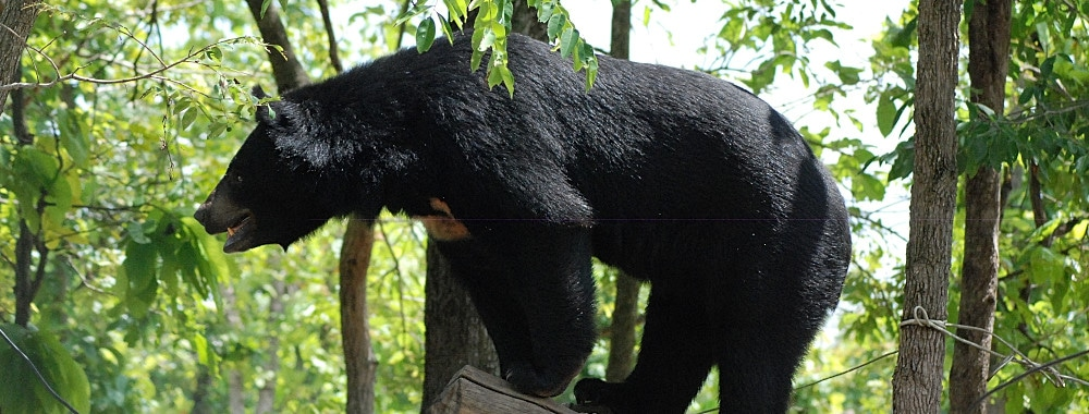 Rescued bear in his enclosure