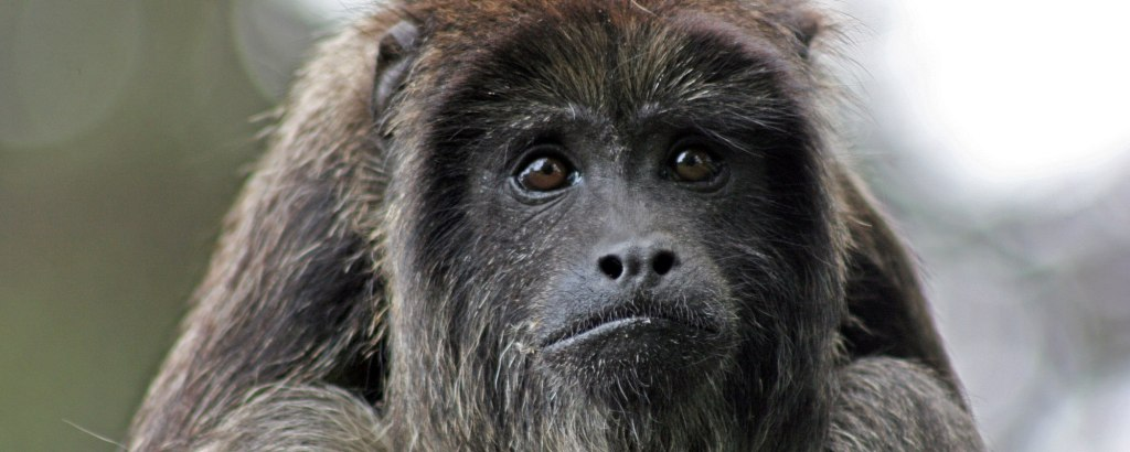 Howler Monkey at the rescue centre