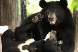 Cambodia bears