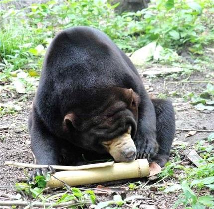Bear chewing Bamboo at Cambodia Sanctuary