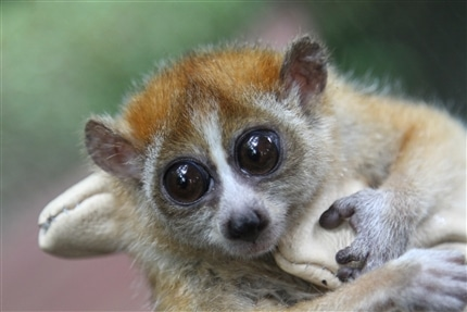 Loris at Laos Wildlife Sanctuary