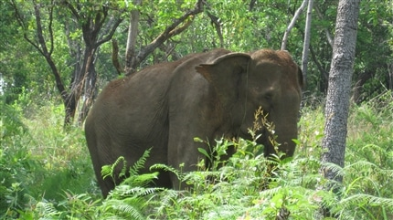 Elephant in Forest at Cambodia Sanctuary
