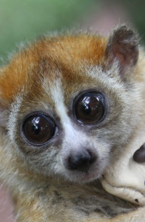 Loris at the Laos Wildlife Sanctuary