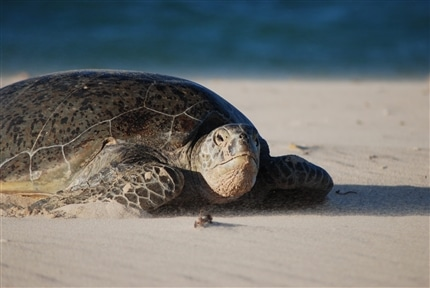 Sea Turtle at Borneo conservation project