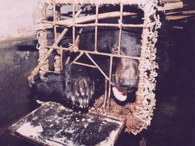 Bear Bile cage