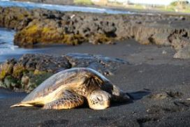 Helping Sea Turtle conservation efforts costa rica