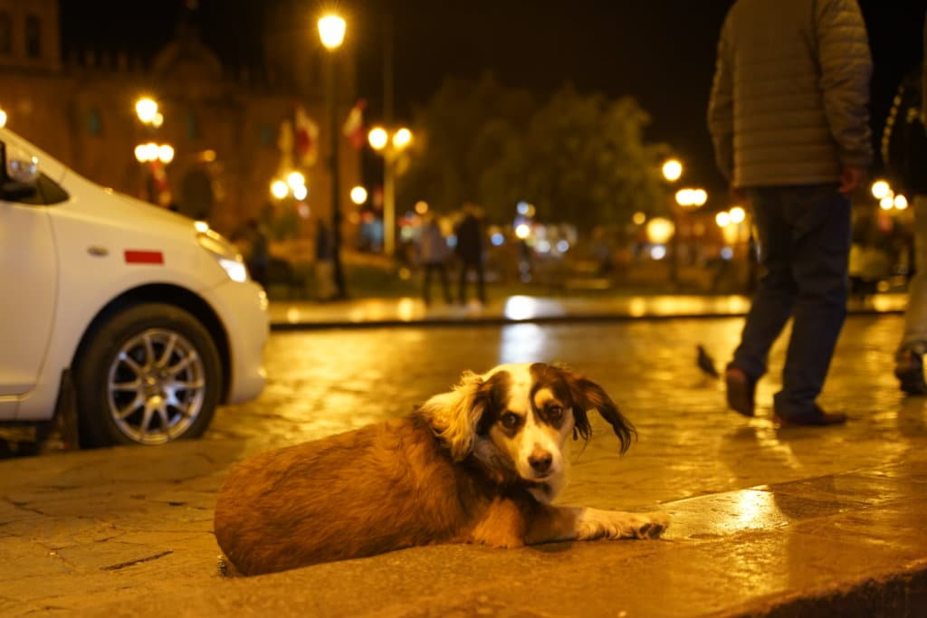 Stray dog in Cusco