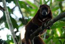 Howler monkey Amazon shelter