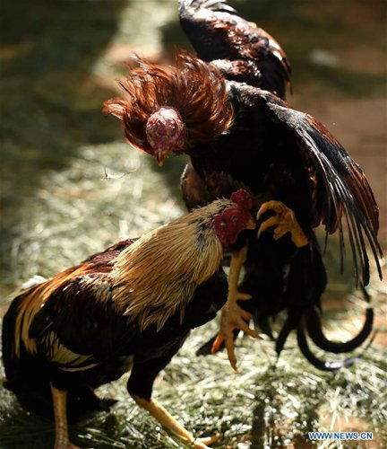 Roosters fight during a cockfight performance held to celebrate the coming Year of Rooster at the Yunnan wild animal zoo on the outskirts of Kunming, capital of southwest China's Yunnan Province, Jan. 24, 2017. (Xinhua/Lin Yiguang)