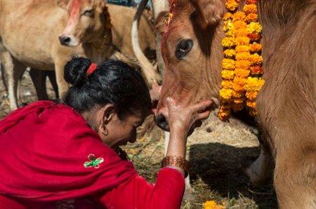 Risultati immagini per TIHAR FESTIVAL 2019 cows