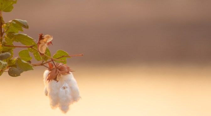 cotton-seed oil
